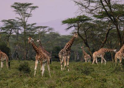 giraffes-jumbo trail
