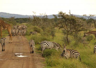 Jumbo safari